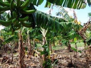 Profitable farm in villa el carmen - The most profitable orchards ...